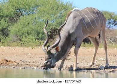 Kudu Antelope - Wildlife from Africa - A blue bull drinks water with spiral horns visible.  The Grey Ghost is his other name.