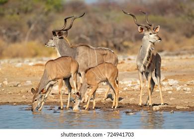 Kudu antelopes (Tragelaphus strepsiceros) at a waterhole, Etosha National Park, Namibia