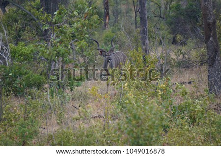 Kudu in brush at Kruger National Park in South Africa