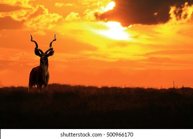 Kudu Bull - African Wildlife Background - Elegance and Grace in Colorful Nature