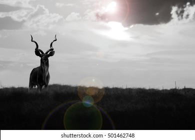 Kudu Bull - African Wildlife Background - Sun Flare and Curls in Nature