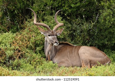 Kudu bull resting in the bush and looking.