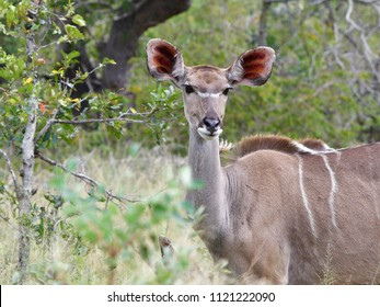 kudu female,South Africa