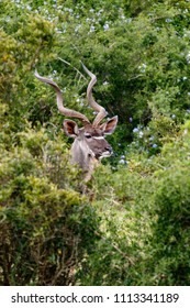 Kudu in the field surrounded with bushes with only a head sticking out