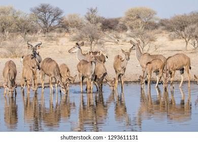 a kudu herd drinking at a waterhole in the kalahari, botswana, trees in the background