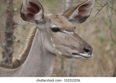 Kudu in the Kruger National Park