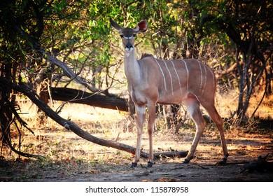 kudu in luangwa national park zambia