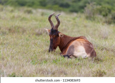 Kudu lying down with his head in the grass in the field