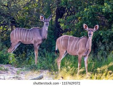 Kudu male and female at the Nxai Pan Nationalpark in Botswana