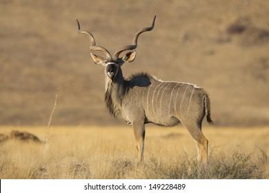 Kudu male, Namib-Naukluft, Namibia