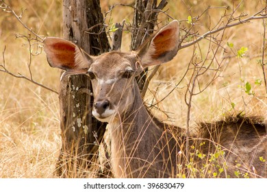 A kudu at a South African game reserve.