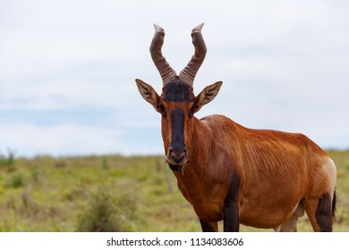 Kudu standing and chewing on grass in the field