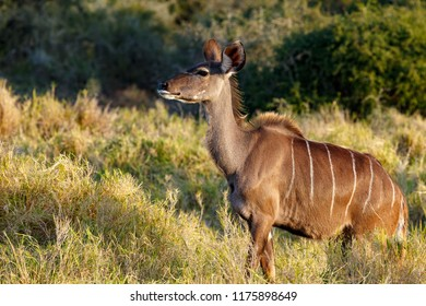 Kudu standing and looking straight ahead in the field