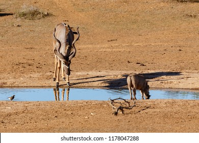 Kudu standing and looking at the warthog drinking water