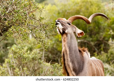 Kudu stretching for a leaf to eat in the tree