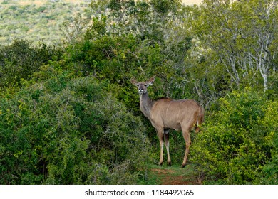 Kudu surrounded with bushes in the field