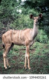 Kudu (Tragelaphus strepsiceros) , Kruger National Park, mpumalanga, south africa