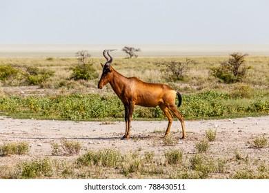 Kuhantilope, red hartebeest, Etosha National Park, Namibia