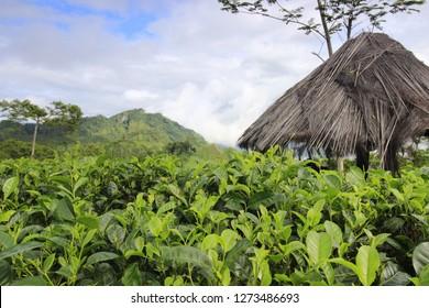 Kulonprogo tea plantation, Yogyakara, Indonesia.