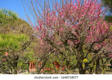 KUMAMOTO, KYUSHU, JAPAN - JANUARY 29, 2020: Plum tree blossom at Suizenji Jojuen park a Japanese ornamental garden in Kumamoto