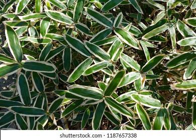 Kumazasa sasa albo marginata kuma bamboo grass veitch's bamboo