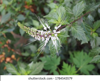 Kumis kucing or Orthosipon stamineus, is called cat's whiskers because the size of the leaves is longer than the crown of flowers so it resembles the shape of a cat's whiskers.
