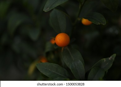Kumquat close up in lush citrus tree