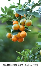 kumquat tree images stock photos vectors shutterstock