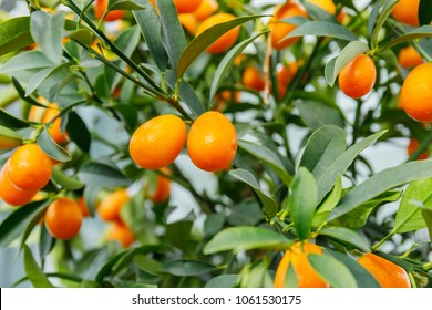 Kumquat fruit, close up. Fortunella margarita Kumquats ( or Cumquats )  foliage and Oval fruits on kumquat  dwarf  tree, closeup