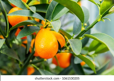 kumquat fruits, close up.  margarita Kumquats ( or Cumquats )  foliage and Oval fruits on kumquat  dwarf  tree, closeup. Kumquat fruit