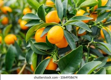 Kumquat fruits. Fortunella margarita Kumquats ( or cumquats )  foliage and Oval fruits on kumquat  dwarf  tree.