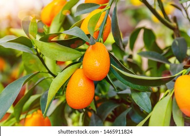 Kumquat fruits. Fortunella margarita Kumquats ( or cumquats )  foliage and Oval fruits on kumquat tree, close up