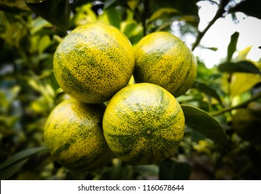 kumquat fruits on a kumquat tree