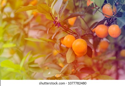 Kumquat fruits on the tree against blurred background.Kumquat tree. Together with Peach blossom tree, Kumquat is one of 2 must have trees in Vietnamese Lunar New Year holiday in north.