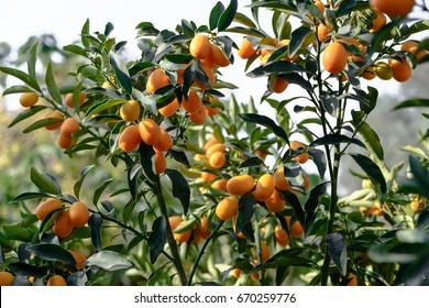 Kumquat fruits on the tree against blurred background.