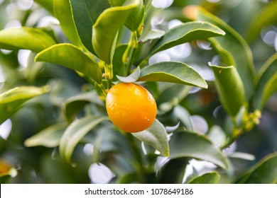 Kumquat fruits on the tree, Citrus Fruit, in Antalya garden. Kumquat trees are beautiful, with dark, glossy green leaves and bright orange fruit which is both gorgeous and delicious.