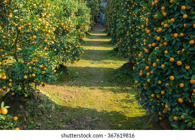 """Kumquat garden, kumquat is the symbol of Vietnamese lunar new year. In nearly every household, crucial purchases for Tet include the peach """"hoa dao"""" and kumquat plant"""