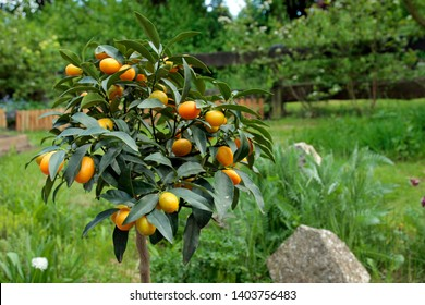 kumquat harvest directly from the orange tree