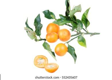 Kumquat isolated on on white background. Kumquats, cumquats small fruit-bearing tree in flowering plant family Rutaceae. Round kumquat also called Marumi kumquat or Morgani kumquat