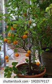Kumquat in einem Topf auf der Veranda eines Landhauses