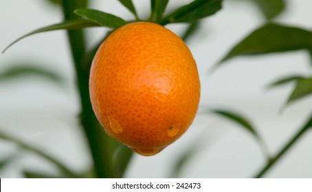 kumquat ripe on tree