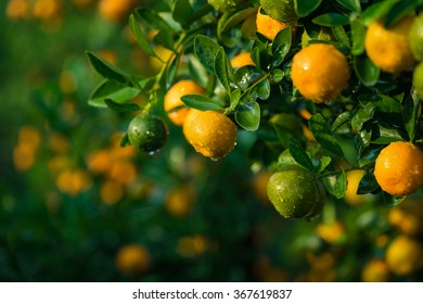 """Kumquat, the symbol of Vietnamese lunar new year. In nearly every household, crucial purchases for Tet include the peach """"hoa dao"""" and kumquat plant"""