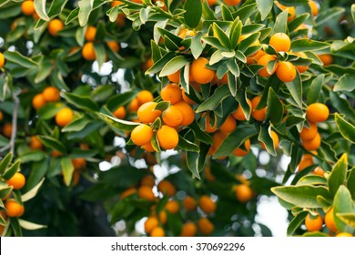 Kumquat tree branch