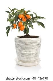 Kumquat tree in flowerpot isolated on white background