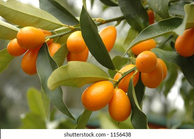 Kumquat tree with fruit and leaves
