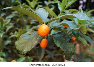 kumquat, kumquat tree in Italian garden