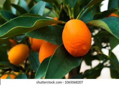 Kumquat tree. small oranges