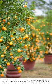 Kumquat tree - the symbol of Vietnamese lunar new year