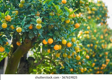 """Kumquat tree under water sprays, the symbol of Vietnamese lunar new year. In nearly every household, crucial purchases for Tet include the peach """"hoa dao"""" and kumquat plant"""