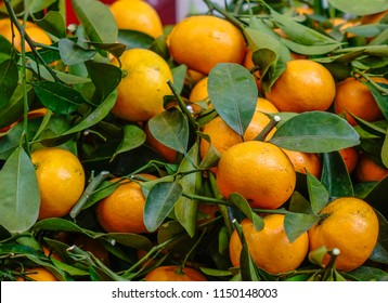 Kumquat trees and fruits. Kumquat is the must have trees in Vietnamese Lunar New Year.